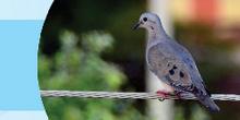 Jornal aborda a questão das pombas no campus